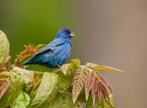 Indigo Bunting, Sourland Mountain Preserve, NJ, May 13, 2014 (photo by Chris Duffek)