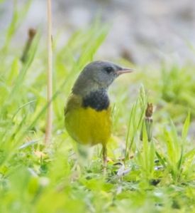 Mourning Warbler, Bernardsville, NJ, May 15, 2014 (photo by Jim Gilbert)