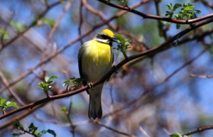Hybridized Golden-winged Warbler, Flanders, NJ, May 5, 2014 (photo by Michael Bochnik)