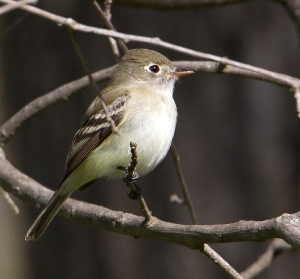 Least Flycatcher, Sourland Mountain, NJ, May 7, 2014 (photo by Chris Duffek)