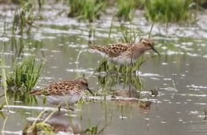Least Sandpipers, Denville, NJ, May 9, 2014 (photo by Jonathan Klizas)