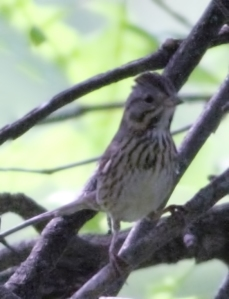 Lincoln's Sparrow, Troy Meadows, NJ, May 23, 2014 (photo by J. Klizas)