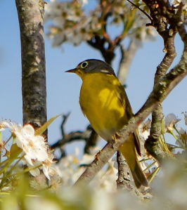 Nashville Warbler, Bedminster, NJ, May 3, 2014 (photo by Zach Batren)