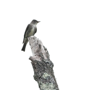 Olive-sided Flycatcher, Chimney Rock, NJ, May 15, 2014 (photo by Jeff Ellerbusch)