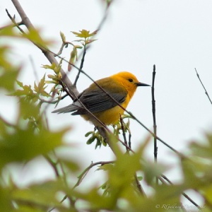 Prothonotary Warbler, Glenhurst Meadows, NJ, May 18, 2014 (photo by Robert Gallucci)