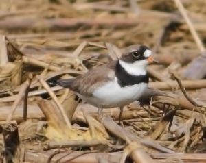 Semipalmated Plover, Long Valley, NJ, May 22, 2014 (photo by Jonathan Klizas)