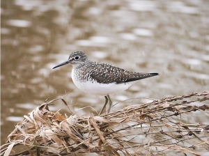 Solitary Sandpiper, Finderne Wetlands, NJ, May 4, 2014 (photo by Tom Ostrand)