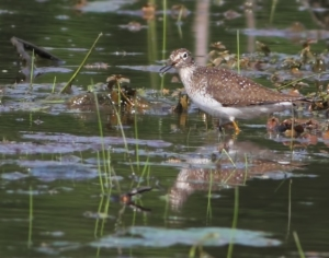 Solitary Sandpiper, Florham Park, NJ, May 27, 2014 (photo by J. Klizas)