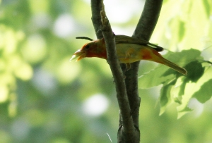 Summer Tanager, Lord Stirling Park, NJ, May 26, 2014 (photo by Jeff Ellerbusch)