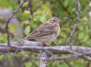Vesper Sparrow, Great Swamp NWR, NJ, May 2, 2014 (photo by Jim Gilbert)
