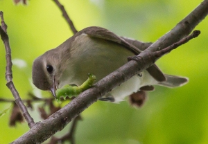 Warbling Vireo, Griggstown Grasslands, NJ, May 29, 2014 (photo by Chris Duffek)
