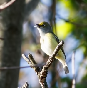 White-eyed Vireo, Morris Twp., NJ, May 11, 2014 (photo by Jonathan Klizas)