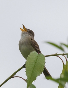 Willow Flycatcher, Griggstown Grasslands, NJ, May 29, 2014 (photo by Chris Duffek)