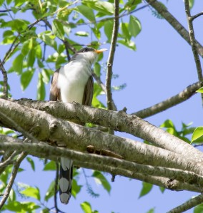 Yellow-billed Cuckoo, Franklin Twp., NJ, May 12, 2014 (photo by Chris Duffek)