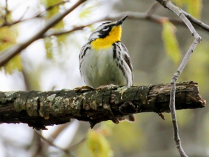 Yellow-throated Warbler, Loantaka Brook Reservation, NJ, May 2, 2014 (photo by Jim Mulvey)