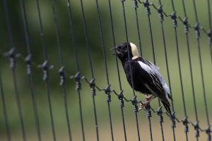 Bobolink, Warren Twp., NJ, June 20, 2014 (photo by Mike Newlon)