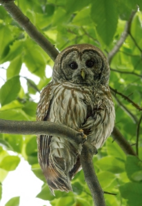Barred Owl, Rockaway Twp., NJ, June 8, 2014 (photo by Jonathan Klizas)