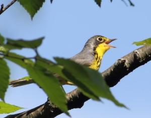 Canada Warbler, Mahlon Dickerson Reservation, NJ, June 14, 2014 (photo by Jonathan Klizas)
