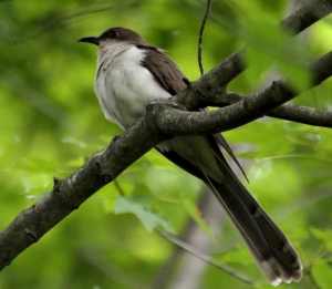 Black-billed Cuckoo, Lord Stirling Park, NJ, June 11, 2014 (photo by Jason Denesevich)