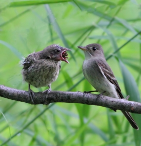 Eastern Wood-Pewee feeding, Lord Stirling Park, June 26, 2014 (photo by J. Klizas)