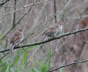 Field Sparrow Family Tree, West Morris Greenway, June 25, 2014 (photo by Jonathan Klizas)