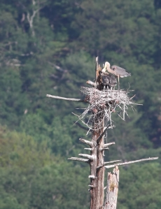 Feeding time at the heronry, Deerhaven Lake, NJ, June 22, 2014 (photo by Jonathan Klizas)