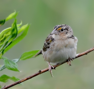 Grasshopper Sparrow, Negri-Nepote Grasslands, NJ, June 9, 2014 (photo by Zach Batren)