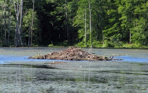 Beaver lodge at Lost Lake, Jefferson Twp., NJ, June 15, 2014 (photo by Jonathan Klizas)