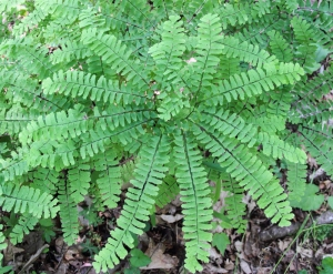 Maidenhair Fern, Lost Lake, Jefferson Twp., NJ, June 15, 2014 (photo by J. Klizas)