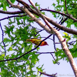 Summer Tanager, Lord Stirling Park, NJ, June 3, 2014 (photo by Robert Gallucci).
