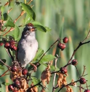Swamp Sparrow, Troy Meadows, NJ, June 20, 2014 (photo by J. Klizas)