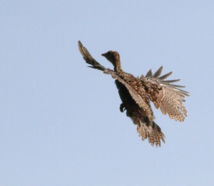 Wild Turkey poult, Troy Meadows, NJ, June 20, 2014 (photo by J. Klizas )