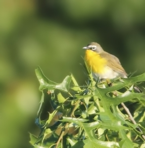 Yellow-breasted Chat, Lord Stirling Park, NJ, June 2, 2014 (photo by Jonathan Klizas)
