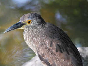 Yellow-crowned Night-Heron, Parsippany, NJ, June 26, 2014 (photo by Jonathan Klizas)