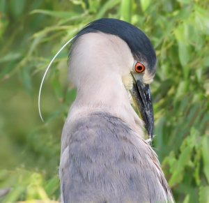 Black-crowned Night-Heron, Parsippany, NJ, July 3, 2014 (photo by Jonathan Klizas)