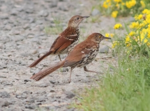 Brown Thrashers, Great Swamp NWR, July 1 ,2014 (photo by Jonathan Klizas)