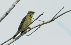 Dickcissel, Negri-Nepote Grassland Preserve, NJ, July 7, 2014 (photo by Jeff Ellerbusch)
