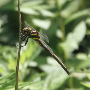 Female Arrowhead Spiketail (Cordulegaster obliqua ), Wildcat Ridge, NJ,  July 7, 2014 (photo by Jonathan Klizas)