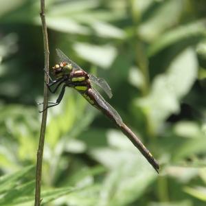 Female Arrowhead Spiketail (Cordulegaster obliqua ), Wildcat Ridge, NJ,  July 7, 2014 (photo by Jonathan Klizas)