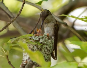 Ruby-throated Hummingbirds, Great Swamp NWR, NJ, July  9, 2014 (photo by Chuck Hantis)