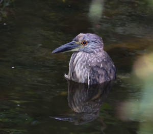 Yellow-crowned Night-Heron, Parsippany, NJ, July 20, 2014 (photo by Chuck Hantis)