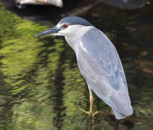 Black-crowned Night-Heron, Parsippany, NJ, July 1, 2014 (photo by Chuck Hantis)