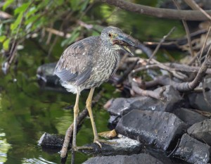Yellow-crowned Night-Heron, Parsippany, NJ, July 1, 2014 (photo by Chuck Hantis)