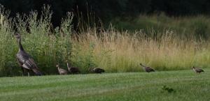 Wild Turkeys, Lord Stirling Park, NJ, July 10, 2014 (photo by Jason Denesevich)