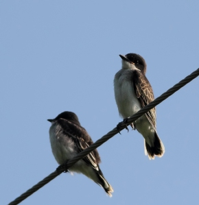Eastern Kingbirds, Great Swamp NWR, July 1 ,2014 (photo by Jonathan Klizas)