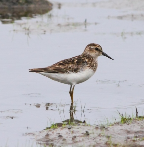 Least Sandpiper, Lincoln Park, NJ, July 13, 2014 (photo by Jonathan Klizas)