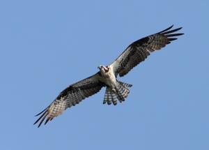 Osprey at Fish Tract, Florham Park, NJ,  July 7, 2014 (photo by Jonathan Klizas)
