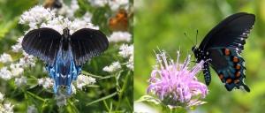 Pipevine Swallowtail (Battus philenor), Willowwood Arboretum, NJ, July 17, 2014 (photo by Jonathan Klizas)