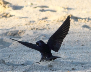 Purple Martin, Lewis Morris Park, NJ, July 5, 2014 (photo by J. Klizas)