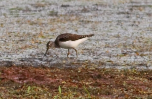 Solitary Sandpiper, Negri-Nepote Grasslands, NJ, July 10, 2014 (photo by Jonathan Klizas)